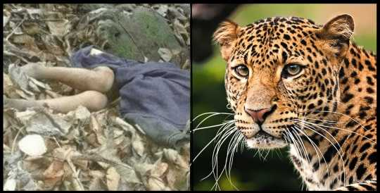 "alt=""Leopard attack on girl in Nainital"""