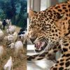 "alt=""leopard attack in nainital"""