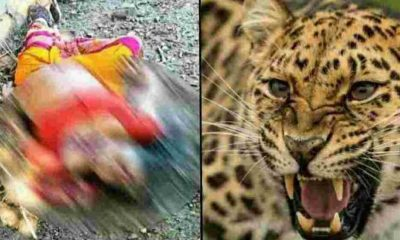 Uttarakhand News: Leopard tendua attack in devthal tehsil pithoragarh