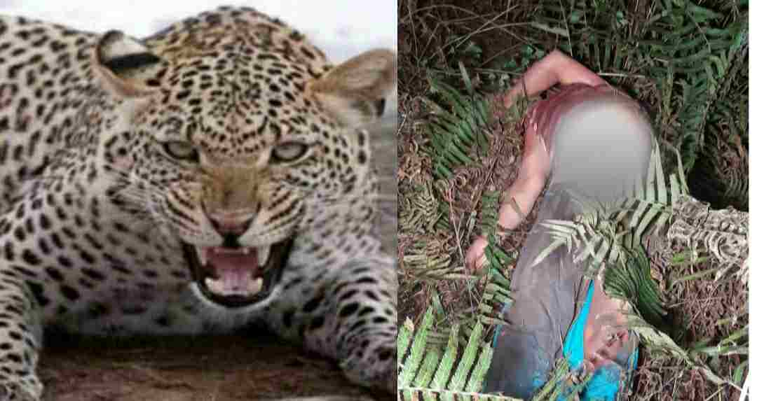 Uttarakhand: leopard attack in kanalichina pithoragarh on kalawati devi body found in forest
